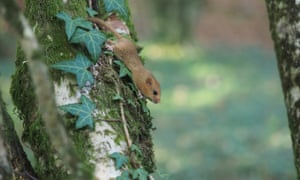 A rare hazel dormouse at the National Trust's Cotehele Estate in Cornwall, UK