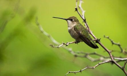 Adult female black-chinned hummingbird, Archilochus alexandri.