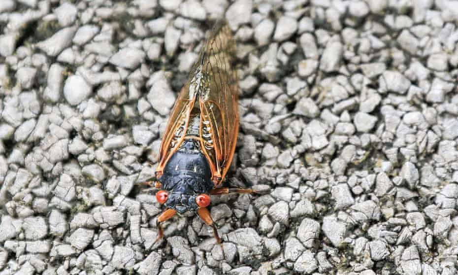 A cicada sits on a sidewalk in Dublin, Ohio.
