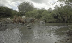 Cattle in the Tigite River, near North Mara goldmine.