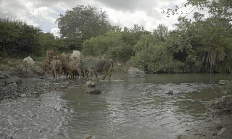Cattle in the Tigite River, near North Mara goldmine.