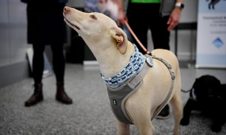 Kössi, a coronavirus sniffer dog, at Helsinki airport in Vantaa, Finland