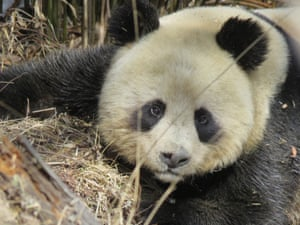 A female panda resting in the tree in the wild in Changqing National Nature Reserve in China.
