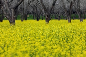 Walnut trees stand in the middle of a field of mustard yellow flowers, near the West Bank city of Jenin