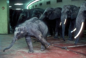 Elephants and baby chained in an indoor enclosure at the Ringling Bros. and Barnum & Bailey Circus, US in 1989.