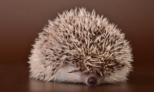 Too fat to roll into a ball … how overeating is threatening hedgehogs.