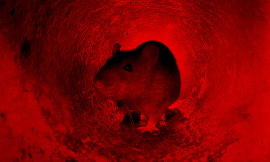 'Rats are so longstanding a threat to humanity that contemplating an end to the rat problem seems like a fantasy.'
