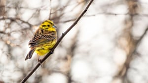 A yellowhammer in Wicklow, Ireland