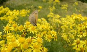 Meadow Brown (Maniola jurtina) butterfly, feeding on common ragwort (Jacobaea vulgaris) flowers.
