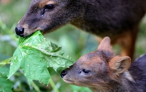 A newborn Southern Pudu baby with his mother in the enclosure at Cologne Zoo, Germany. The Southern Pudu is the smallest deer species in the world and doesn't get much bigger than a hare