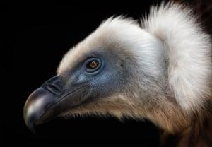 Griffon vulture, Alaska