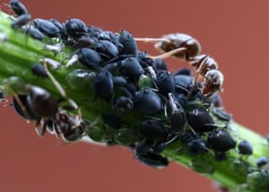 Ants herd aphids to protect them from predators such as ladybirds, wasps and hoverfly larvae in the village of Povarovo, Russia