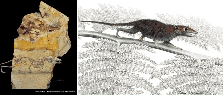 Juramaia, a Jurassic eutherian mammal ancestor. Fossil found in the Tiaojishan Formation , China.