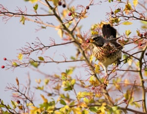 A fieldfare (<em>Turdus pilaris</em>), a member of the thrush family of birds, snaps up a hawthorn berry in Warwick