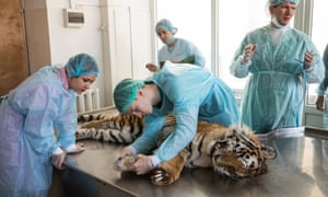 Students at the Ussurysk Diagnostic Centre examine and prepare the tiger for autopsy. The creature had gnawed its paw off after becoming caught in a poacher's trap.
