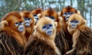 Golden snub-nosed monkeys in Seven Worlds, One Planet