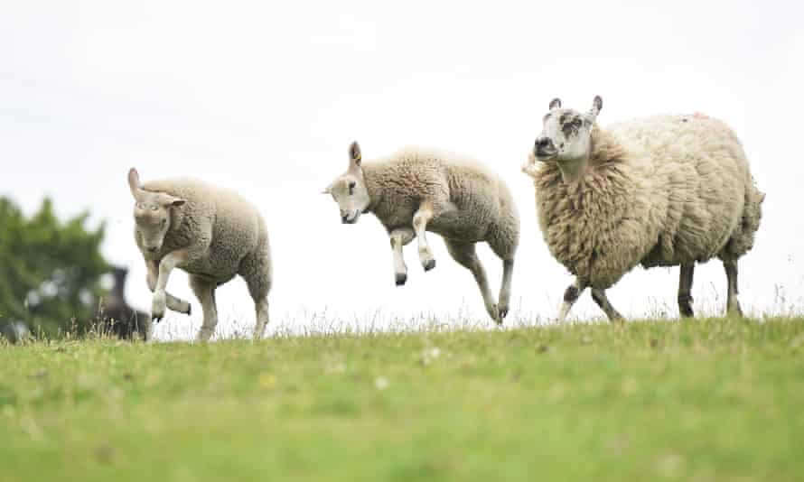 Sheep at play (see question 10:9). Photograph: Nathan Stirk/Getty Images