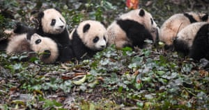 Giant pandas at a dedicated conservation and research centre in Ya'an, southwest China's Sichuan Province