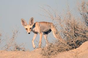 An Arabian red fox in a desert in Kuwait