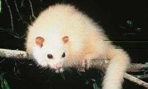 The rare white lemuroid ringtail possum