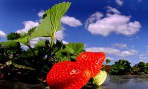 A ripe strawberry plant