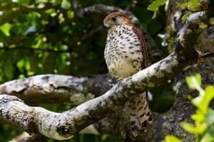 In 1974 the endangered Mauritius kestrel (Falco punctatus) was close to extinction, with only four known birds including one breeding female. Conservation efforts have included captive breeding, supplementary feeding, nest-site enhancement and predator control. Today, with a population of about 400 birds, this conservation achievement is regarded as one of the most successful bird restoration projects in the world.