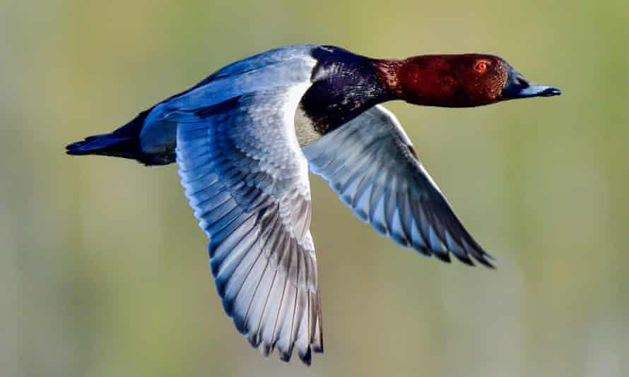 The pochard's numbers have fallen dramatically in Britain in the last 30 years.