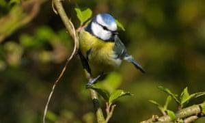 Blue tit in a bush