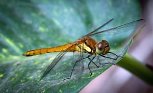 A dragonfly on a leaf at a garden in Kathmandu, Nepal.