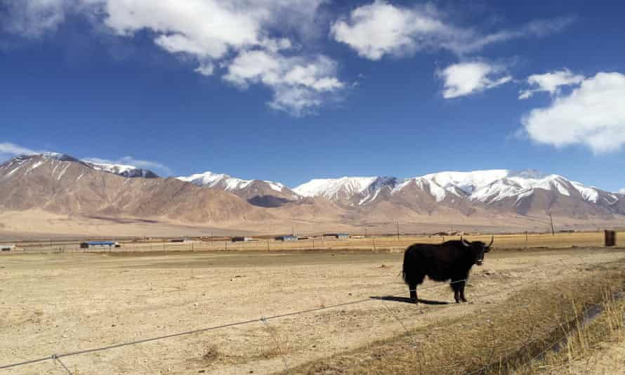 A yak grazes in a field to the south of Tashkurgan near where authorities are building one of China's highest altitude airports as part of the Belt and Road initiative.