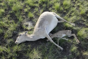 Dead saiga antelopes in a field in Kostanay region of Kazakhstan.