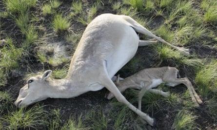 Dead saiga antelopes in a field in Kazakhstan