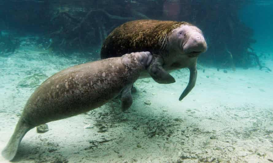 A manatee calf nurses from its mother in florida