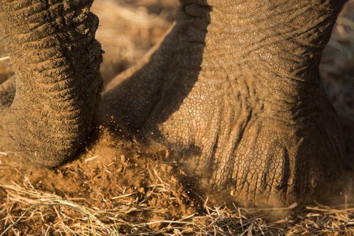 f3b8d26ea Saving Africa s elephants   Can you imagine them no longer existing ...