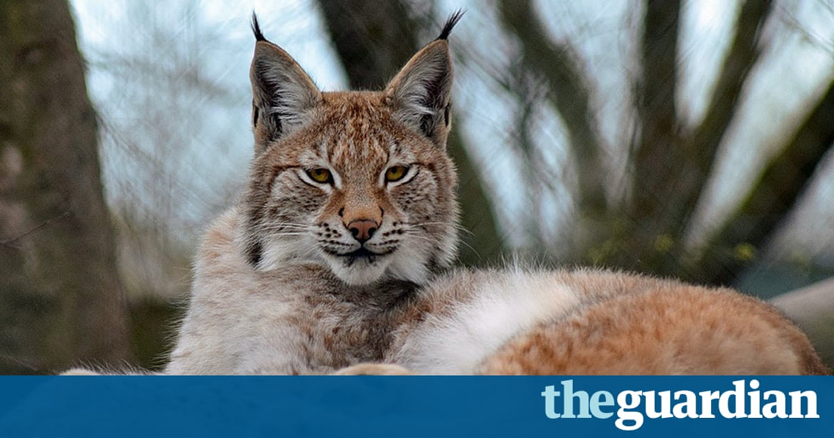 Campaigners demand Welsh zoo be shut after death of second lynx
