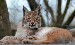 Lillith the Eurasian lynx