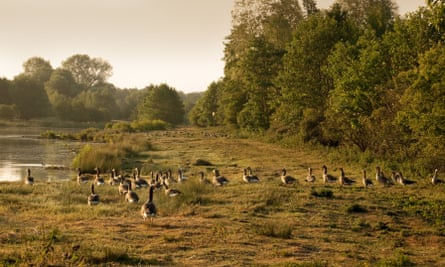 A flock of geese at sunrise, Lackford Lakes, Suffolk Wildlife Trust, Suffolk