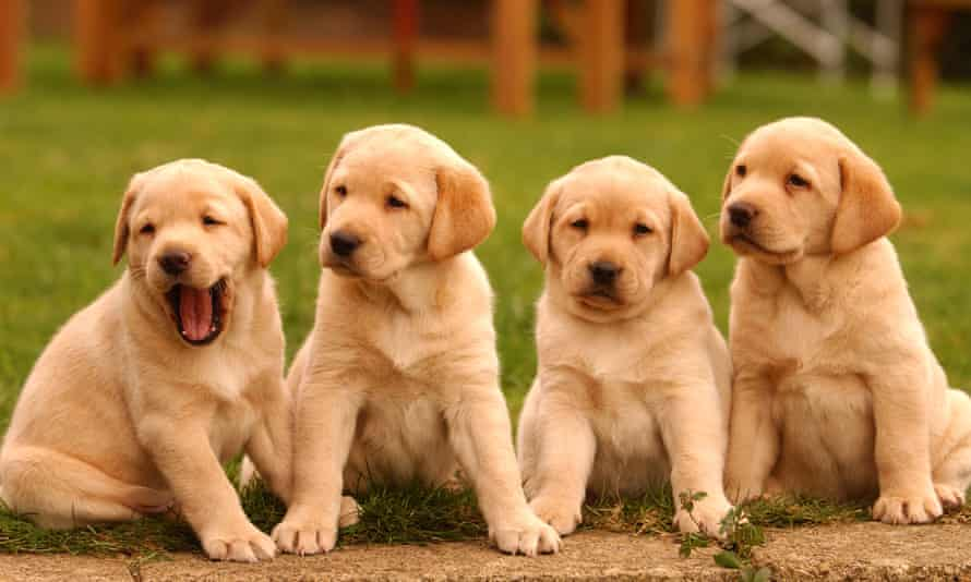 Pet-talk, which uses cadences similar to those used towards babies, draws the attention of puppies but not older dogs, research shows.