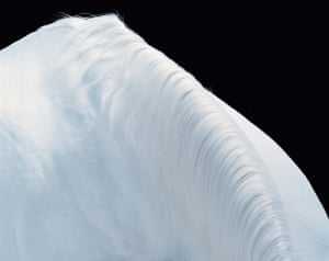 This image of an Arabian horse remains one of the photographer's favourites. A simple white shoulder and mane on a black background suggests a detail of a beautiful horse, and at the same time a pristine snow-covered mountain