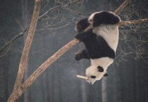 Giant panda Meng Meng plays on a tree at a Siberian tiger breeding base in Changchun, Jilin, in northeast China