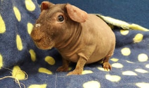 Middlesex, UK: A Warthog is looking for a new home after he and nine other 'skinny pigs' were signed over to the RSPCA when their previous owner struggled to cope. They are Guinea pigs bred to have no fur, in a similar way to sphynx cats.