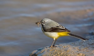 Adult male grey wagtail (Montacilla cinerea) with its flash of lemon-yellow beneath the tail.