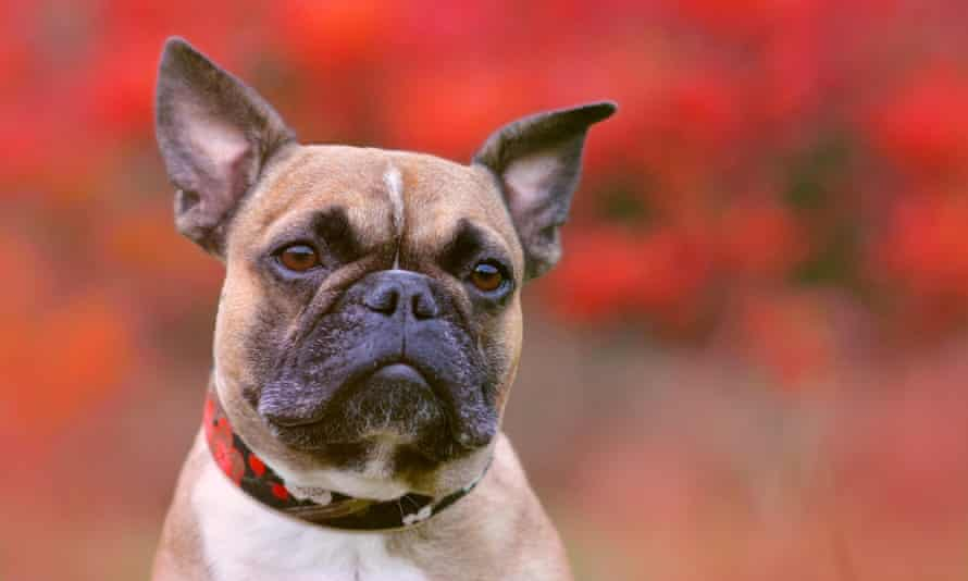 Thieves have targeted in-demand breeds such as the French bulldog
