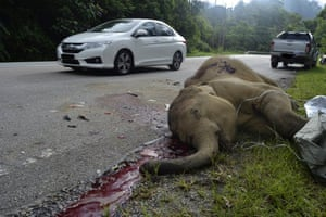 A dead two-year-old baby elephant reportedly killed by a car in Perak state, Malaysia.