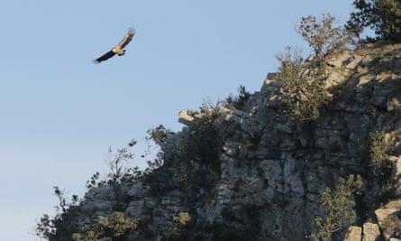 A griffon vulture soars over a cliff at Beli
