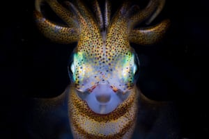 Southern calamari squid (Sepioteuthis australis) at night in Bushrangers Bay, New South Wales, Australia. Third place: Exploration Photographer of the Year