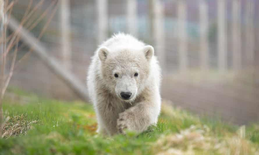Hamish, pictured in August, left Highland Wildlife Park for Project Polar at Yorkshire Wildlife Park.