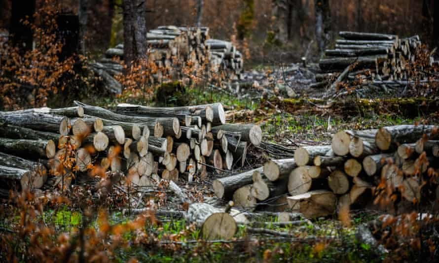 Piles of logged tree trunks in a forest in Makowa, Poland.