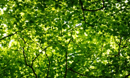Beech tree canopy and green leaves in spring sunlight, England, UK