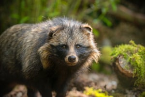 The racoon dog is a native of East Asia, including Japan, and are the only species of dog known to hibernate.